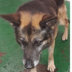 Found dog on 30 Oct 2018 in Ballyowen Road. found, now in the dublin dog pound...Date Found:
