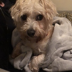 Found dog on 30 Oct 2019 in Galway city. Dog found tonight in Knocknacarra area in Galway City. Small white dog with golden patches and a red collar with no tag. Call 0851156221