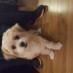Reunited dog 31 Aug 2017 in Kinnegad. Found in Tircroghan Kinnegad. Female. Call 0876110339