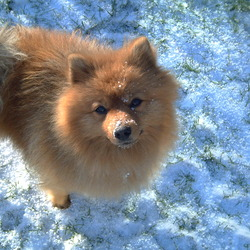 Found dog on 31 Dec 0009 in Balgriffin. Male German Spitz found in balgriffin (malahide road) on 31/12/09.