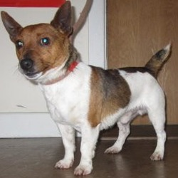 Found dog on 31 Jan 2018 in old lighthouse road, Wicklow. found..  is a male terrier found on the old lighthouse road, Wicklow. Please contact Wicklow Dog Pound for further information at 0404-44873.