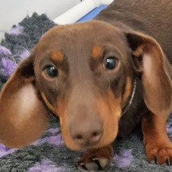 Found dog on 31 Jul 2018 in Lucan.. found, contact dspca . Male adult Dachshund found 29/0718 in Lucan.
