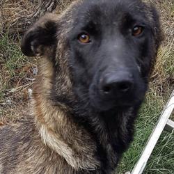 Found dog on 31 Jul 2018 in  Rathfarnham.. found, contact dspca..Female adult Belgium shepherd cross found 31/07/18 in Rathfarnham.