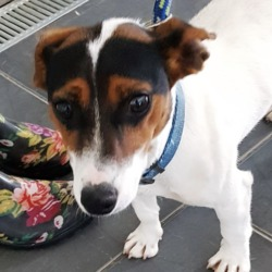 Found dog on 31 Jul 2018 in Tibradden D16. found, contact dspca..Jack Russell terrier adult male (not neutered) found 29/07/18 in Tibradden D16.