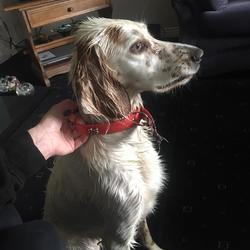Found dog on 31 May 2019 in Loughrea. Medium sized, thin white dog with light brown spots