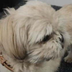 Found dog on 31 May 2021 in howth. found...Dogs Aid 8mtSphonasohgred  ·  This little dog was found today 30th May at howth junction railway station. Now safe with Raheny vets. Please share.