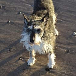 Lost dog on 01 Apr 2019 in Garville Avenue Rathgar. Cross breed whippet dog  - lost early in the morning of 1/4/19 on Garville Avenue in Rathgar.  He's 14 years old and his hearing isn't great. Please call 086 8140673 if found