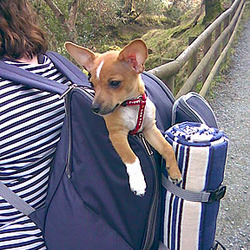 Reunited dog 01 Feb 2010 in Reunited Lost Found Dog in Dublin Ireland. Very small Chihuahua/jack russel mix male dog, tan colour with white. Neutered. Answers to Rocky.
