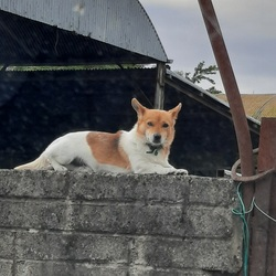 Lost dog on 01 Feb 2021 in Milltown co Kildare . Small 4year old male terrier.