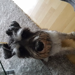 Lost dog on 01 Jan 2018 in Galway Riverside. Lost dog in Riverside(Tuam Rd) Galway.Schnauzer Peper an Salt. He has a chip and hes not wearing a collar. Dog is missing since last night .0857484880