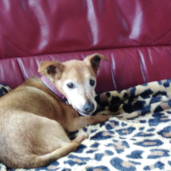 Lost dog on 01 Jan 2020 in Bettystown . Lost Jack Russell. Went missing in Bettystown (near Tesco) at midnight New Year's Eve.  She is 15. Please contact John on 086-8378009