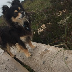 Lost dog on 01 Jun 0018 in Knockanina Mountrath Laois. Black and Tan male chihuahua not neutered