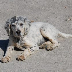 Lost dog on 01 Nov 2009 in Co. Limerick. Missing since 1st November. Area:Loughill/Ballyhahill, Co Limerick.   English Setter, 2 year adult male, body white with black markings, micro chipped. Contact No: 086-8035104