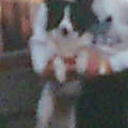 Lost dog on 01 Oct 2009 in Jobstown / tallaght . Went missing in Jobstown / Tallaght area. on the 1st/10. White long haired collie x. With small black spots and black head. white strip from her nose to the top of her head. She's about 11 years old. Answers to lay lay but name lady. if you see her please contact me on 0863316501