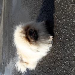Lost dog on 02 Dec 2018 in Cavan co cavan. My dog was lost. Its small white pekingese name Prince.Please help find my dog. Lost in Cavan Lidl area