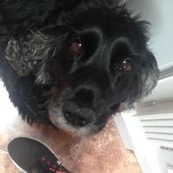 Lost dog on 02 Dec 2019 in Loughrea Co Galway. Cleo is 11 and neutered. She is jet black with a white patch on her chest - greying at her ears and wearing a red collar