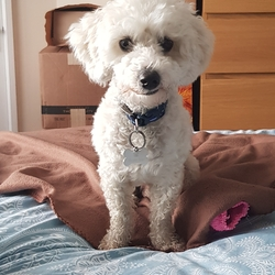 Lost dog on 02 Dec 2020 in Dublin, Ireland. Cooper is missing/stolen since 2nd December 2020 from Dublin, Ireland. He is neutered and microchipped. He is a poodle bischon cross. We want him home. 0852384496