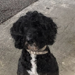 Lost dog on 02 Feb 2021 in Balbriggan K32XW99. 3 year old black cockapoo with white on chest and a little on 2 back paws