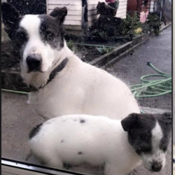 Lost dog on 02 Feb 2021 in limerick. STOLEN limerick*Bruree Area* 1/2/21' Can everyone please share my dogs were takin tonight outside my Bak door a black Passat to be exact, the white and black dog his name is Marley we have him 10 years since he was a pup I am in bits and my kids are in bits please will everyone please share our hearts are broke ..Paw Pals Rescues