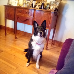 Lost dog on 02 Oct 2019 in Mayo. Beautiful border collie gone missing in Roy dohooma co mayo area . Wearing a pink collor. She is a medical dog and much loved family dog. She is microchipped been spayed no good for breeding. Been missing now 4days . Very friendly she is ten looks much younger Please contact me mob 0830625785 .