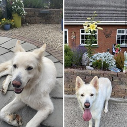 Lost dog on 03 Aug 2020 in Broadford, Kildare . Dora (nearly 3 years old) has been missing since 3pm on 3rd August. 