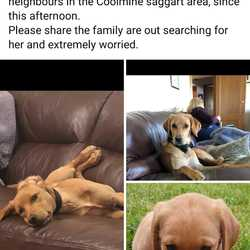 Lost dog on 03 Dec 2019 in Saggart Rathcoole. Red Setter Lab Cross - light red, 7-8 months old