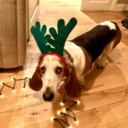 Reunited dog 03 Jan 2020 in Clonsilla, D15. Male, 10 year old Basset hound called Basil