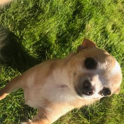 Lost dog on 03 Jul 2019 in Monkstown. Five year old chihuahua lost in Monkstown.  Call Tara 0872549969 if found  Thank You.
