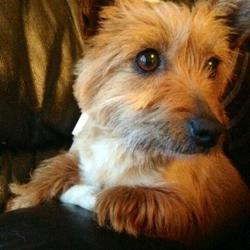 Lost dog on 04 Apr 0017 in mervue/ballybane galway . Small female yorkie mix reddish brown 3 years old timmid and shy