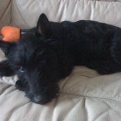 Lost dog on 04 Apr 2010 in Balgeeth, Ardcath. Black Scotch Terrier 6mths old missing. Balgeeth, Ardcath, Co Meath possibly taken. Is microchipped had a collar with name Nelson and a mobile number on the back. His hair has grown since this photo more bushy, please contact 086 1902823.