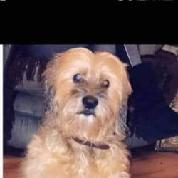 Lost dog on 04 Apr 2019 in Limerick . PLEASE HELP :(  My heart is broken in 2. My dog Buster who I think was taken was last seen on the 4th Of March. He went out To go toilet at 9.3O am and never returned. He is partially blind. There was a white van lurking around the area at the time. I strongly believe he was taken by the men in the man to use for bate for dog fights. If you see him anywhere with anyone PLEASE CONTACT ME :(   0857500414   Many Thanks Annie