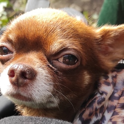 Lost dog on 04 Aug 2021 in Clonsilla train station. Lost male chihuahua 10years old, brown head, body almost bold,no collar,please if you have any information about him call 0830496614