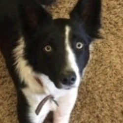 Lost dog on 04 Dec 2019 in monaghan. lost...Lors lost dogs page 36 mins ·  MISSING : 15 month old Female border collie missing since weds 27th Nov from the tyholland/glaslough area of Co.Monaghan she was wearing a red collar with blue name tag attached to it She is microchipped with FIDO She was just starting to become a first class working sheep herding dog owners devastated please contact 0863526377 pf. Mc bride