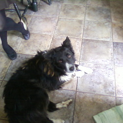 Lost dog on 04 Feb 2010 in Riverstown,Glanmire,Cork. Border Collie Sheeepdog - Black (mostly) & White colour- not neutered-collar but no ID-white element to face-white paws