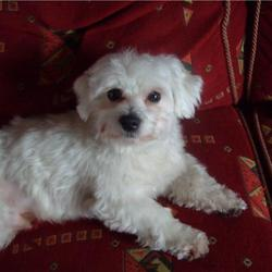 Lost dog on 04 Jan 2010 in monaghan. small white maltese terrier 3 years old, answers to the name , raplh reward offered for any info
