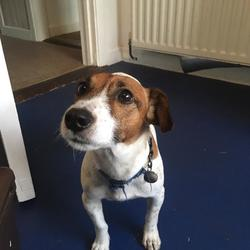 Reunited dog 04 Jan 2019 in Tymon Park, Walkinstown. REUNITED.. large jack russell, white and brown, blue collar. He went off hunting in Tymon Park today at 5pm down near the lake. Answers to Micháil. Has chip.