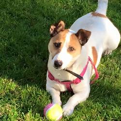 Lost dog on 04 Jun 2018 in Galway City. Mixer our Jack Russell has gone missing.last seen in the NUIG sports complex in Dangan on Monday night. He's white with brown ears and 2 brown spots one near his tale and one on the side. He's wearing a tag with no . 087 2713884. He's also microchipped and neutered. He can be easily caught with food. Please contact us if you come across Mixer.There will be a reward for the person who finds him.