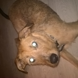 Lost dog on 04 Jun 2018 in tallaght. Tan terrier x lurcher very friendly lost in the tallaght area chipped neutered and wearing contact tags on his collar