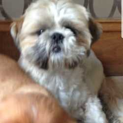 Reunited dog 04 Oct 2018 in Greenhills Dublin . Harry : Situzo  yesterday sadly Harry disappeared a at 4.30 form St killians ave greenhills dublin 12. We been continuously posting pictures for Harry online so that some will him come home. Any informacion would be appreciate.