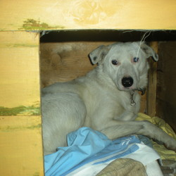 Lost dog on 05 Dec 2009 in Blessington. White Collie/Lab, black spot on head Collar but no tag nervous but friendly