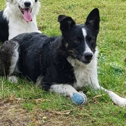 Lost dog on 05 Dec 2018 in Timullen Monasterboice Co Louth A92KT22 . Black and white 4yr old Collie