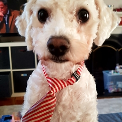 Lost dog on 05 Jan 2018 in Sandymount, Dublin. White 2yr old male bichon. Lost sandymount strand Friday January 5th evening. Answers to biscuit. Large reward offered