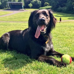 Reunited dog 05 Oct 2017 in Terenure / Bushy Park / Harold's Cross. Mo or Moses is a medium sized dog, lovely temperament - 2 years old, collie/springer cross; black with a tint of brown, and a little bit of white on the chest.