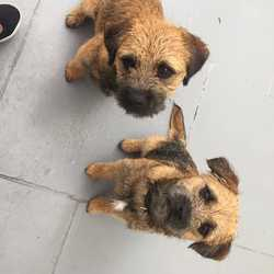Reunited dog 07 Sep 2019 in Dundrum Dublin. Two very young, friendly border terriers have gone missing. They are  only about 8 months old. They were spotted together at three in the morning on 5th sept by a neighbour but have not been seen since and we are very worried. Reunited with owner