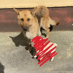 Lost dog on 06 Apr 2021 in Westmeath. Female German Shepard missing from Tyrrellspass area, Westmeath. Responds to Tanner. Last seen Tuesday morning. 5 children at home desperately missing her
