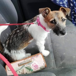 Lost dog on 06 Dec 2019 in Ardclough, Straffan. Miniature tri colour female Jack Russell missing from Ardclough, Straffan, Co Kildare