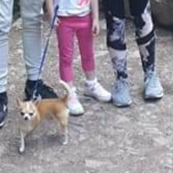 Lost dog on 06 Jul 2021 in Dunarass hoilday village galway. Light brown and white chihuahua named oalf