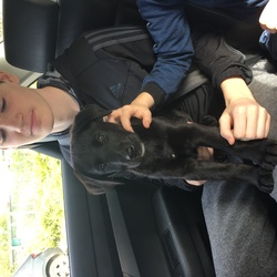 Lost dog on 06 Jun 2018 in 35 North Road. Black Labrador pup