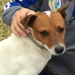 Lost dog on 06 Apr 2021 in Tipperary - Golden / New Inn. Shy little  Jack Russell terrier -Ollie missing,  feared stolen  from New Inn/Golden area Co Tipp since Tuesday /Wednesday - an extremely timid/ docile  little fellow who wouldn't wander far ..his family are missing him terribly. A suspicious red van was seen in the area at the time he was taken .