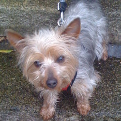 Lost dog on 06 Mar 2010 in Palmerston Road, Dublin 6. YORKSHIRE TERRIER.  Silver, Grey coat.  Two years old. Wears a leather collar and a blue anti bark device around neck. Our adored pet is called PIP.